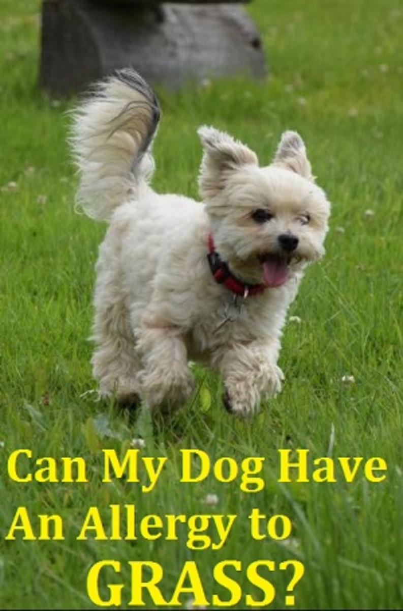 dog grass allergy