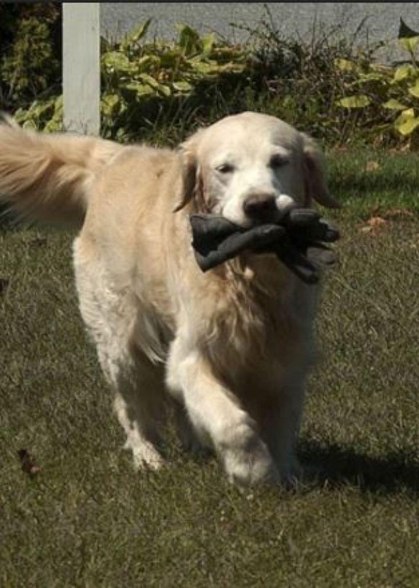 dog-flea-control