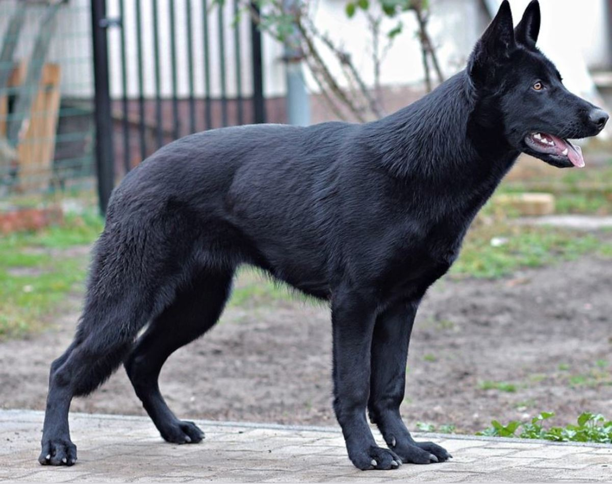 Does Neutering Affect a Male Dog's Size? The tall-and-lanky look is often seen in early-neutered dog as they grow taller and retain a gangly adolescent-like look.