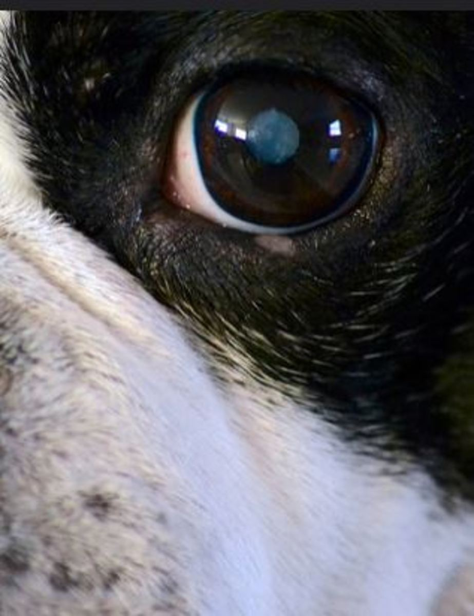 dog-cataract picture