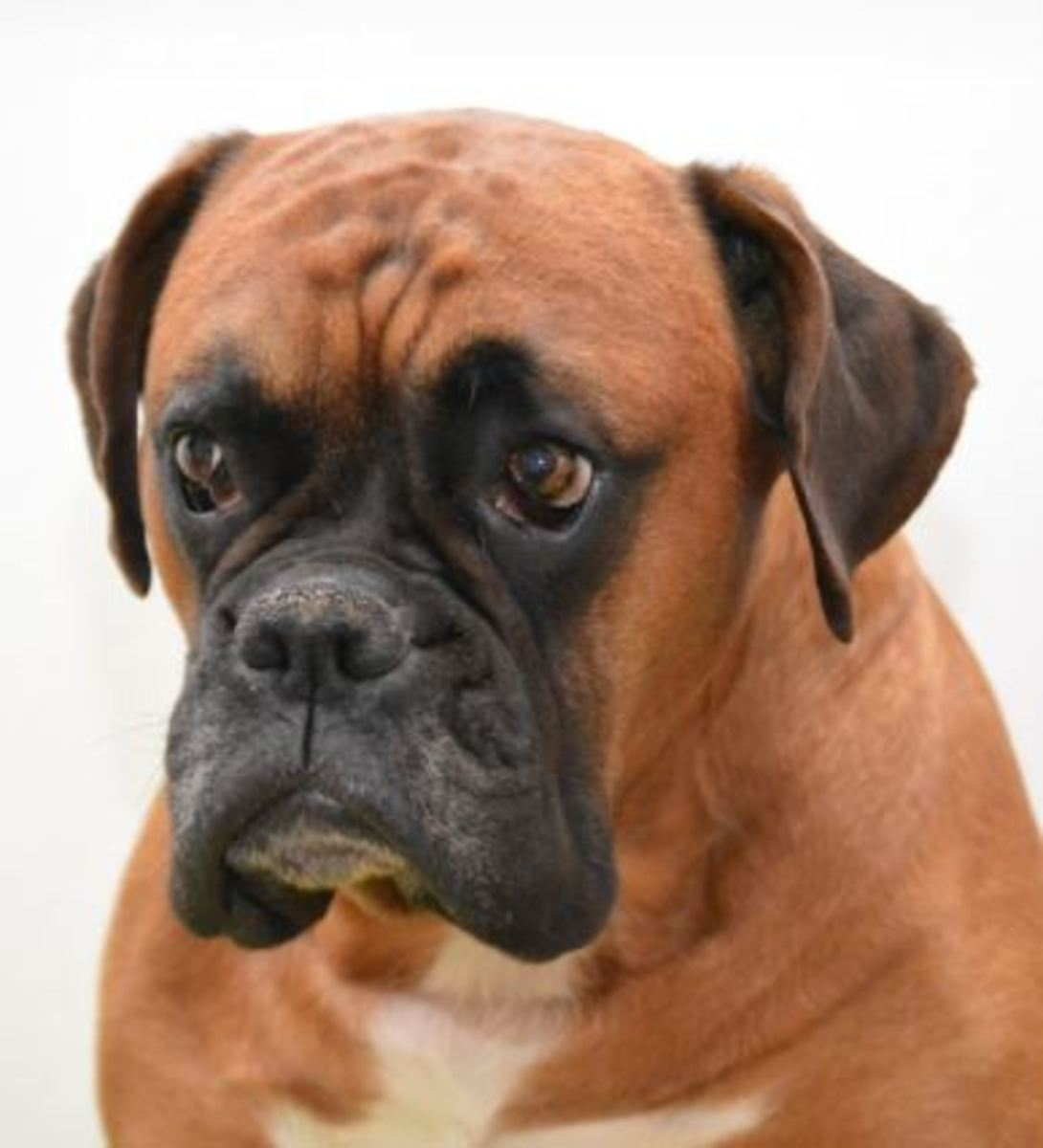 Dogs with pushed-in faces are more prone to aspiration pneumonia