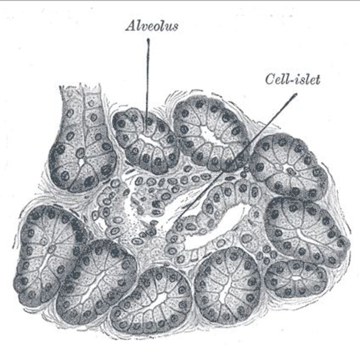 Pancreas of a dog. Alveolus in the illustration refers to the acinar cells which form circular clusters and produce pancreatic enzymes needed for digestion of food. Source: 1918 Anatomy of the Human Body