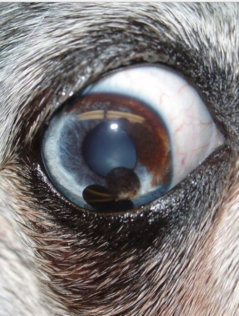 iris-cyst-dog-picture