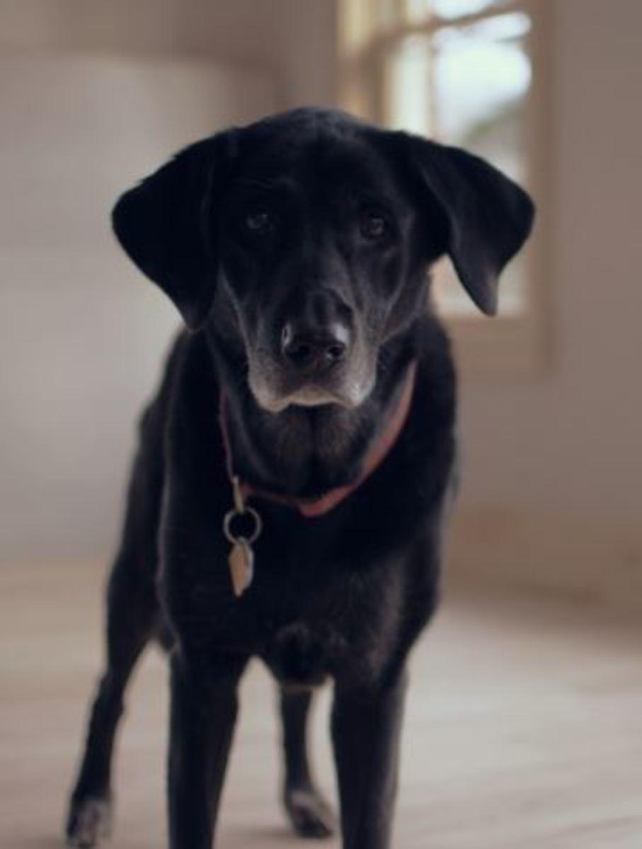 Is gabapentin making your dog wobbly?