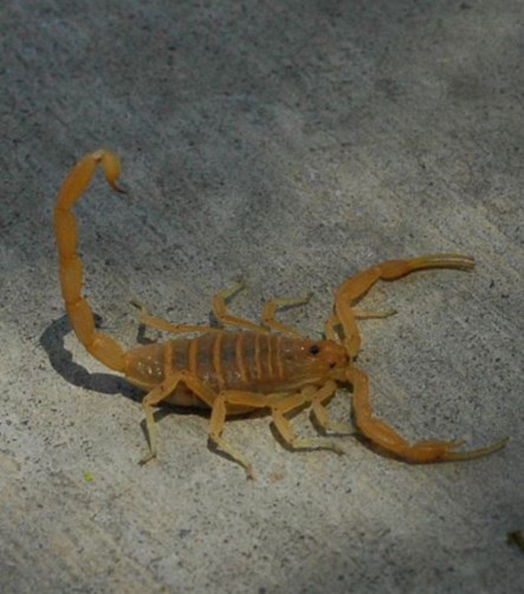 Picture of Arizona bark scorpion