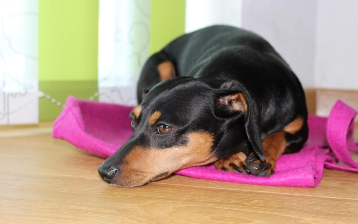 Fluids in a Dog's Abdomen