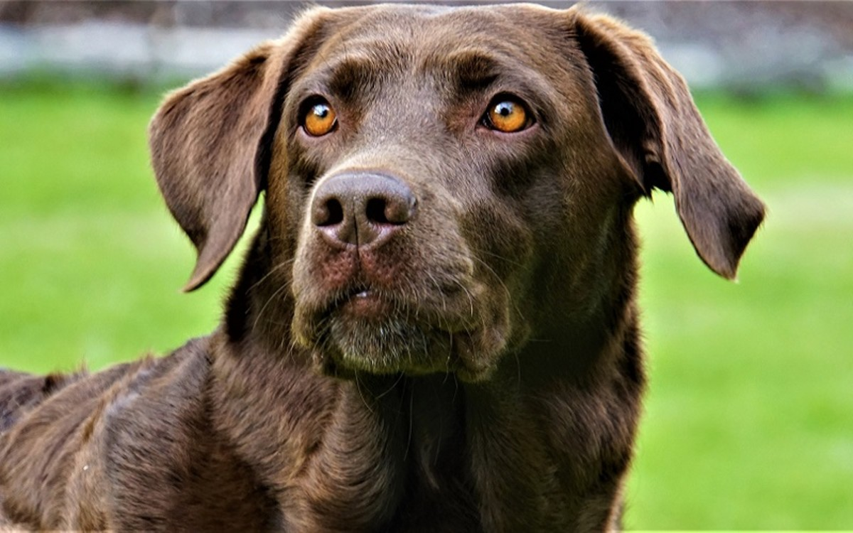Causes of Swollen Lymph Nodes in Dogs