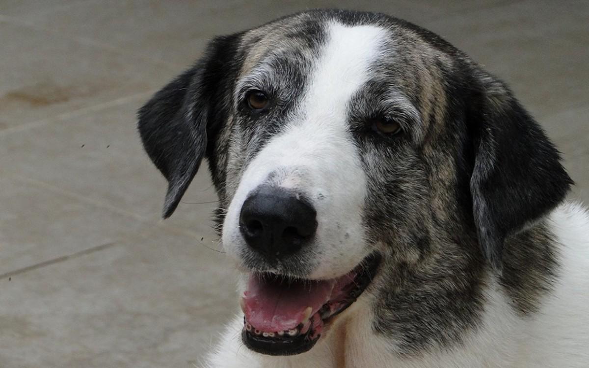 Old Dog with Hazy Eyes