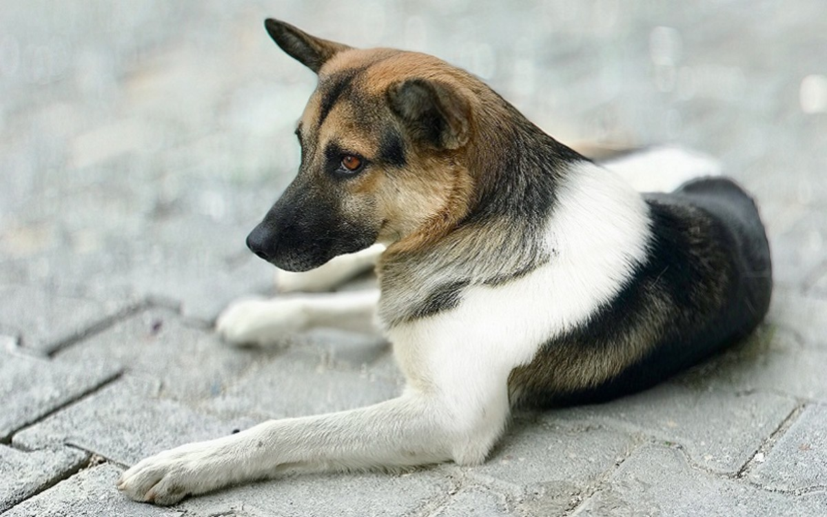 Transtracheal Wash in Dogs