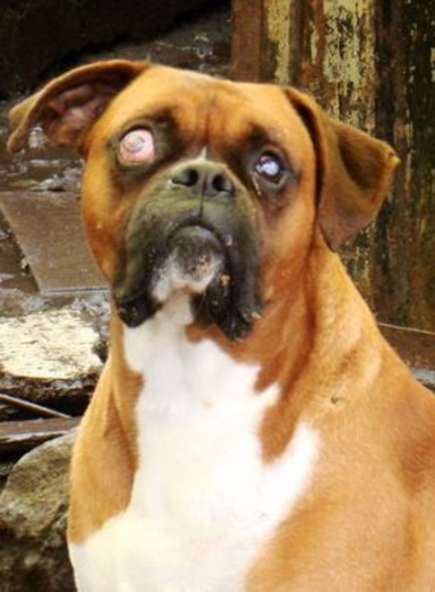 Dog Glaucoma Picture Dogs Health Problems