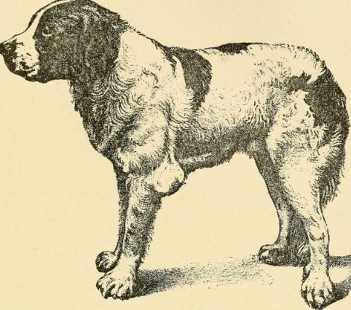 """Elbow hygroma. """"Diseases of the dog and their treatment"""" (1911"""