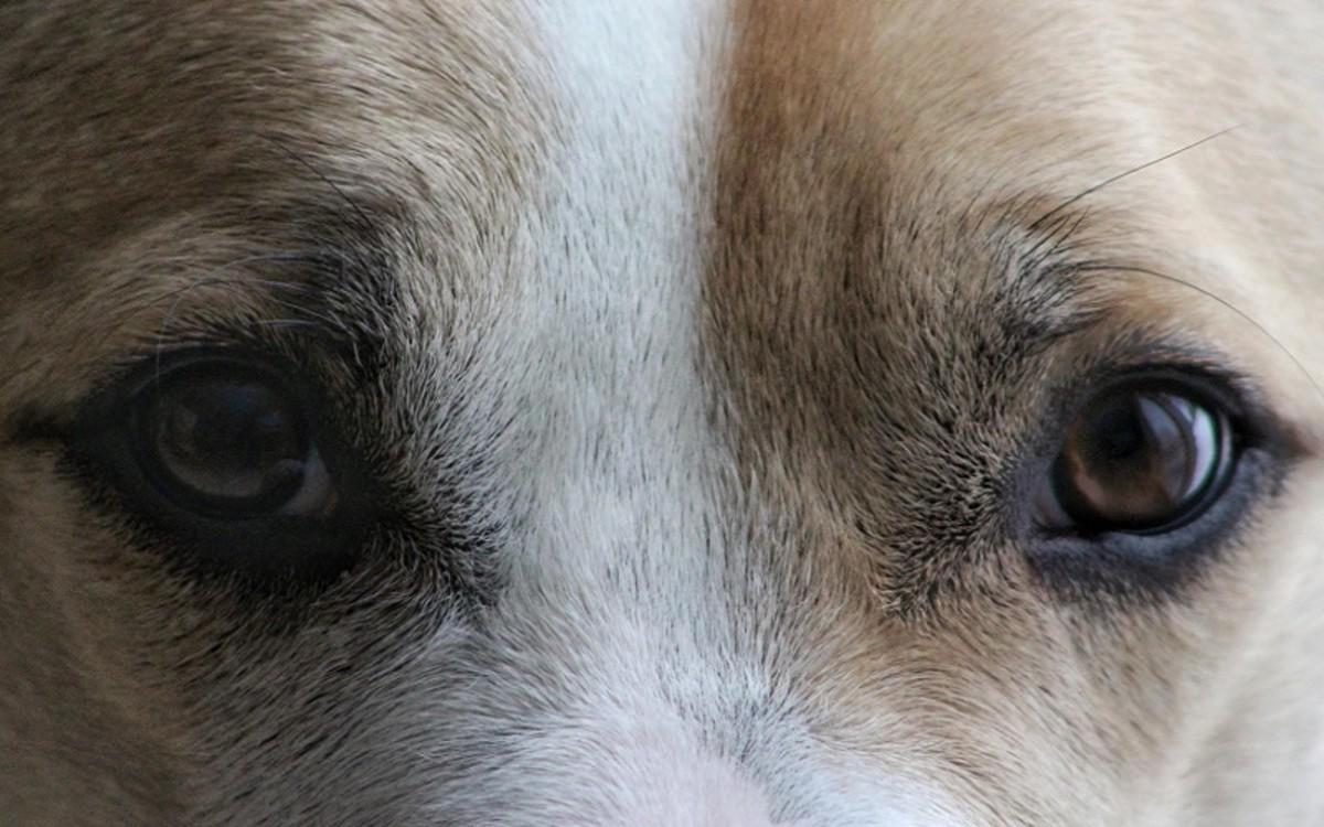 My Dog Has A Dark Area in the Eye's Iris