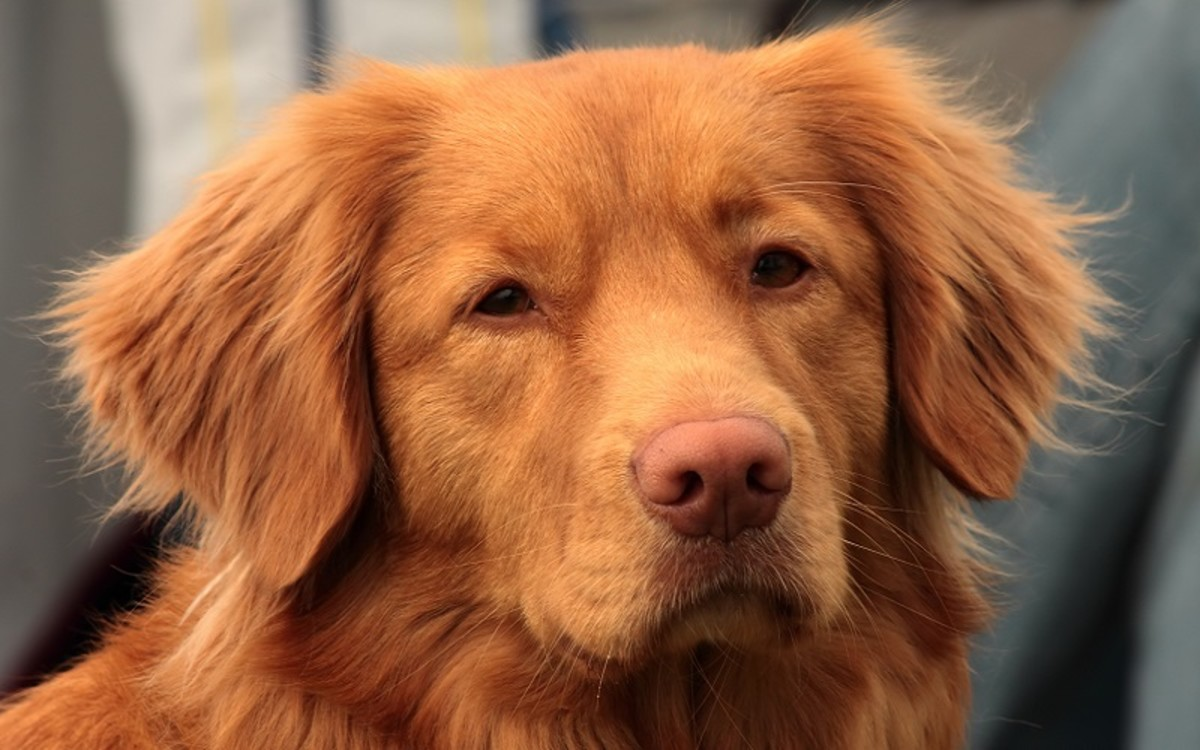 Dog Cherry Eye Surgery