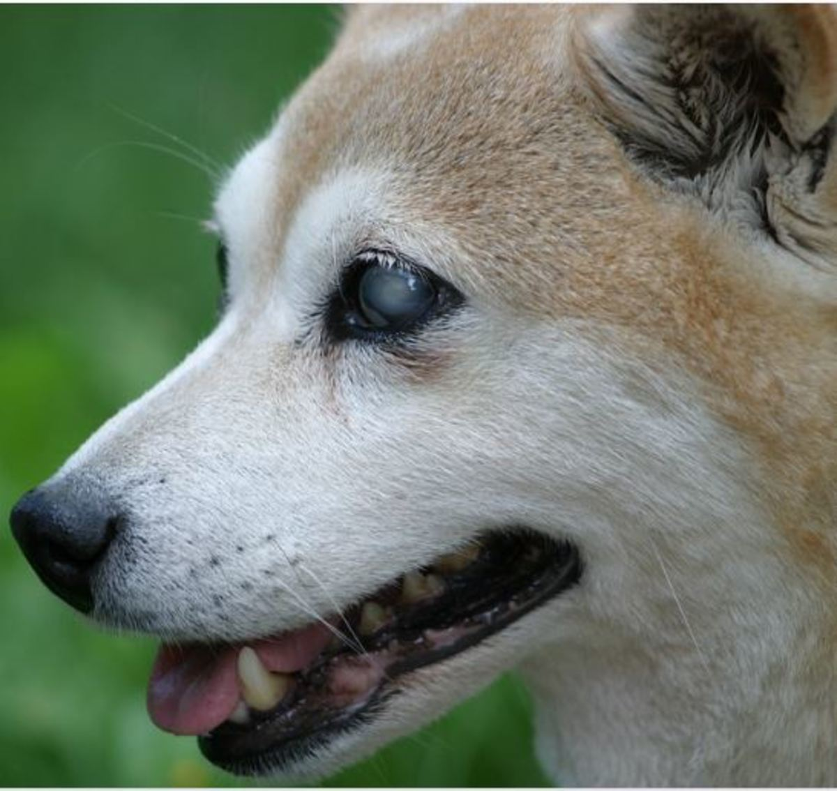 Causes of sudden blindness in dogs
