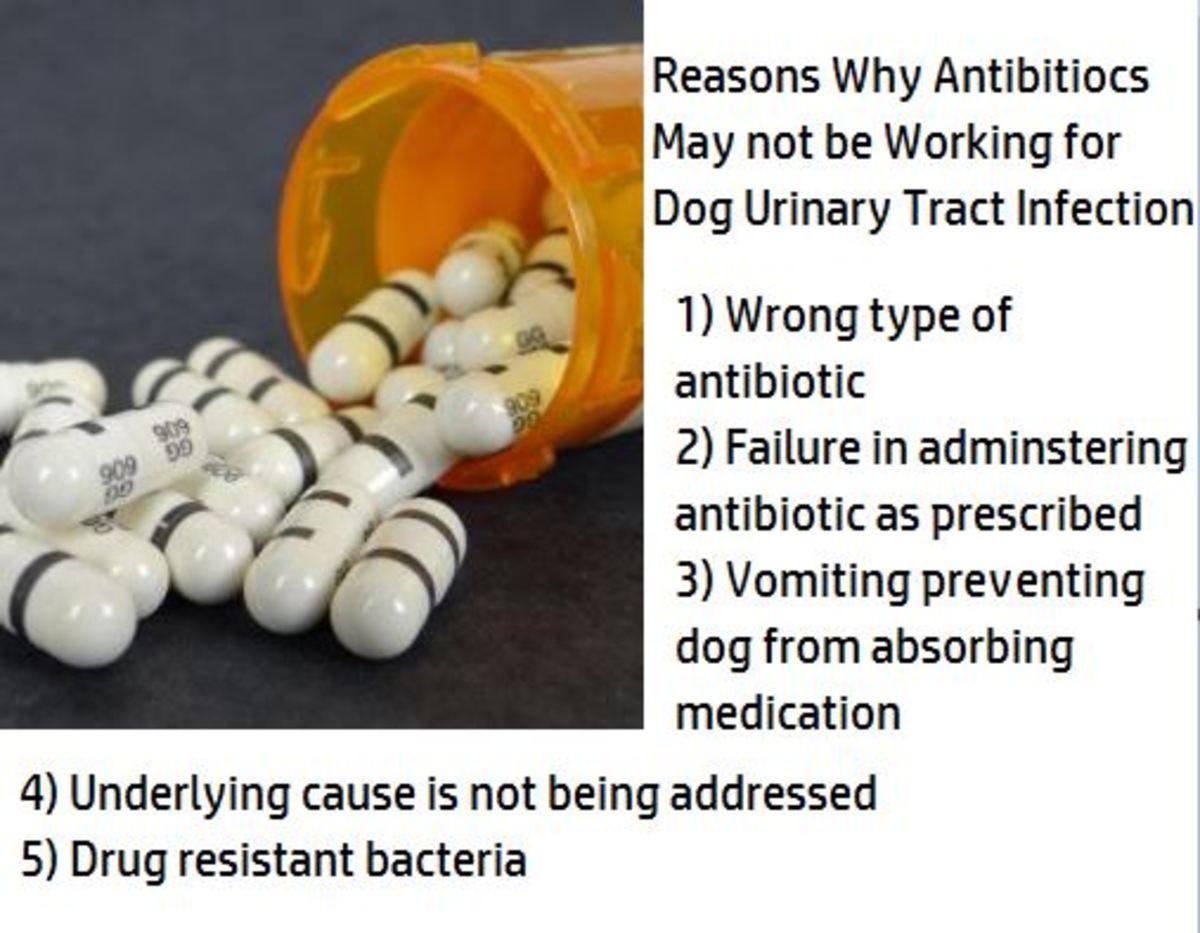 dog antibiotics for uti not working