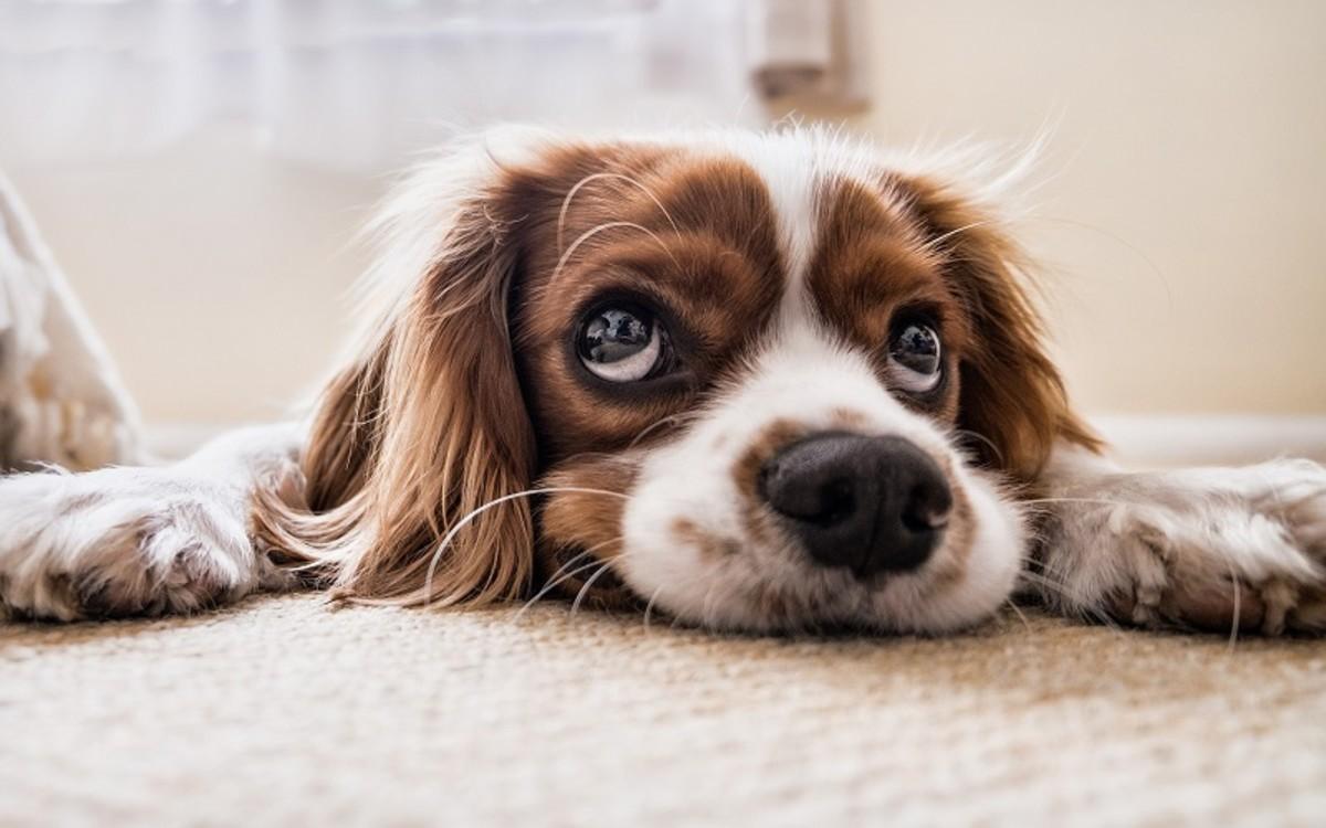 Intervertebral Disk Disease in Dogs