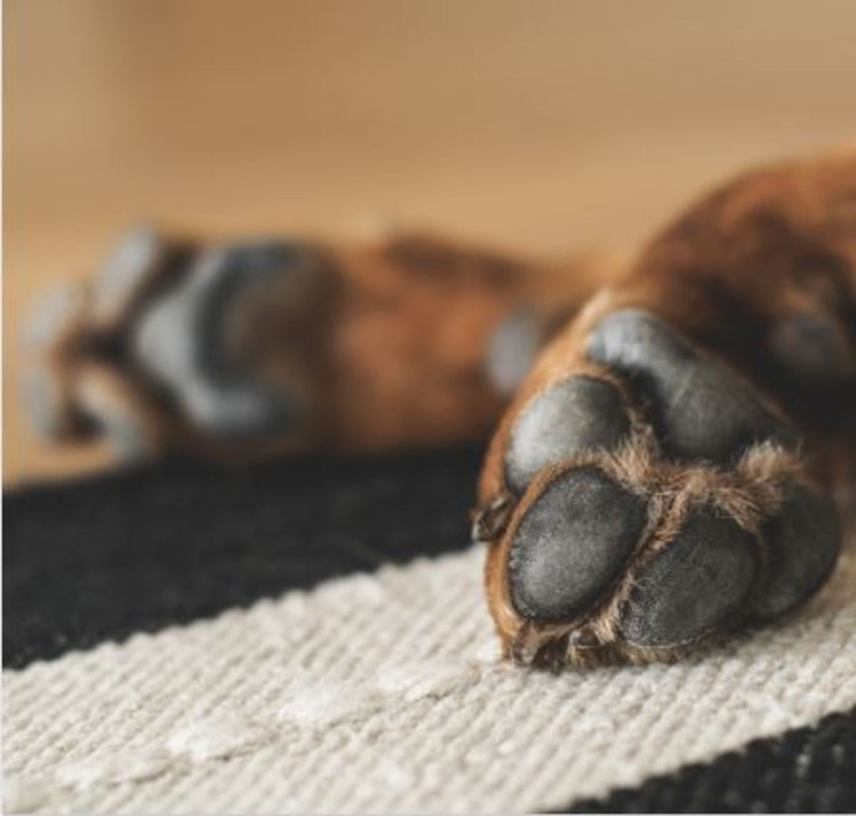 Dog bone cancer is more common in the front legs.