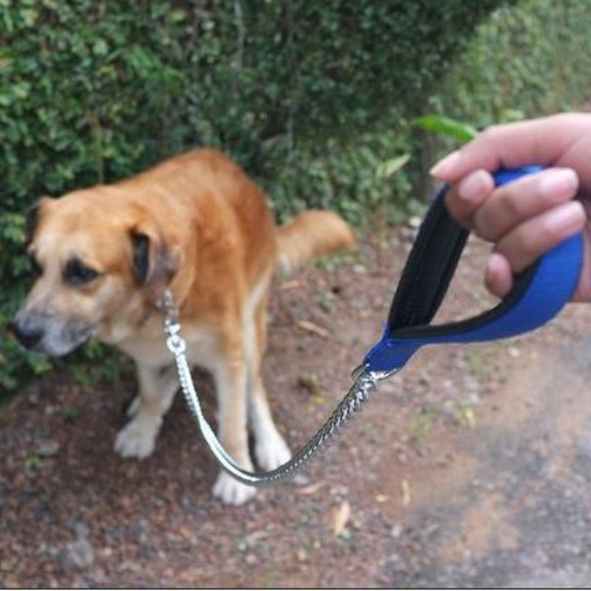 Urinary incontinence in dogs from prednisone