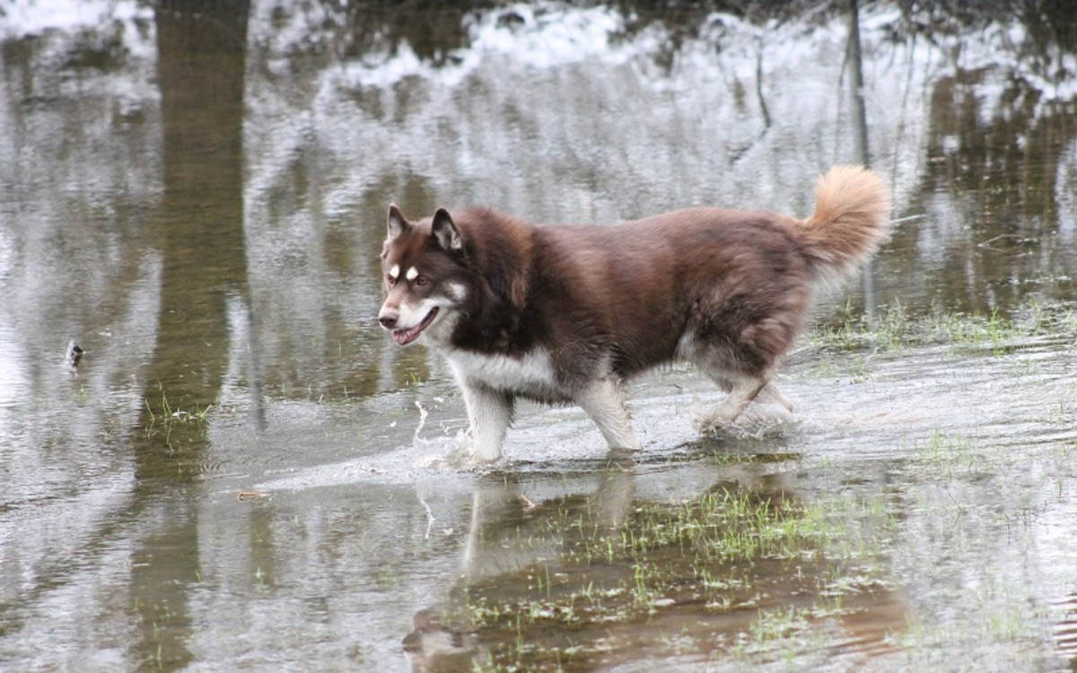 Urinary Tract Infections in Male Dogs