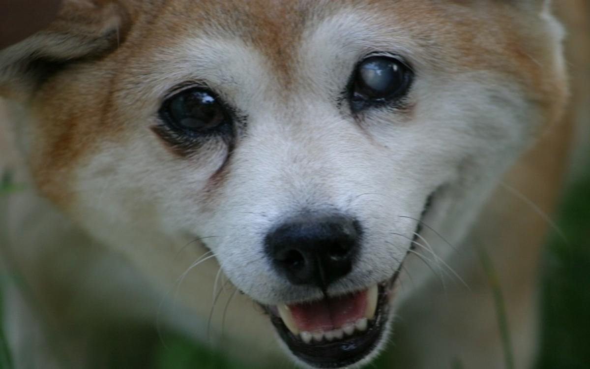 Sudden Blindness in Dogs