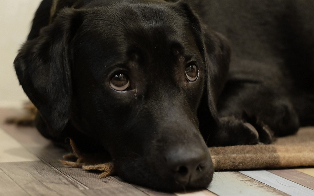 Epidermal Collarettes in Dogs