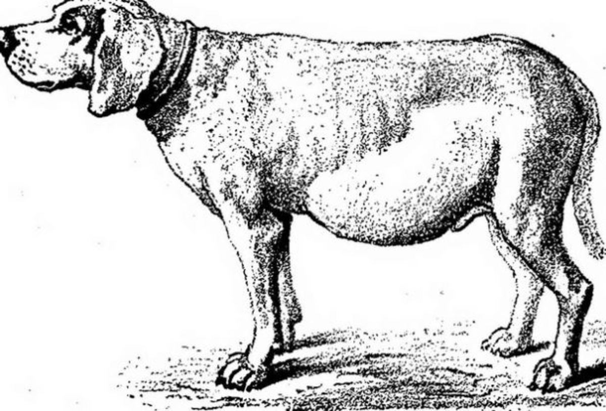 """Dog with ascites Image from page 150 of """"Canine distemper, its complications, sequelae, and treatment"""" (1922)"""