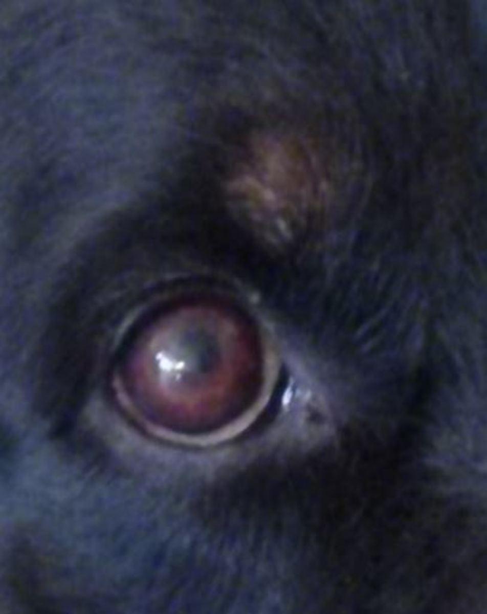 dog eye melanoma