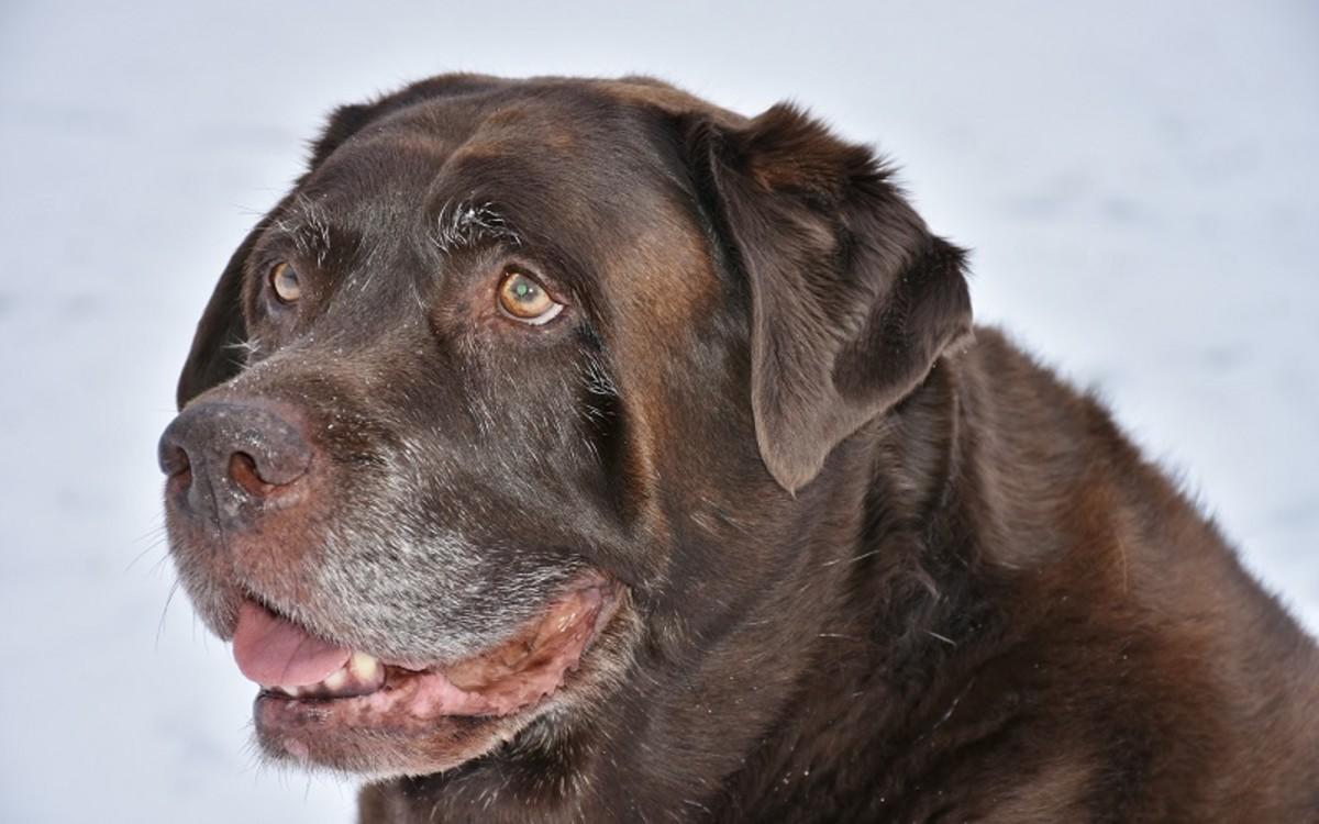 Vestibular Disease vs Stroke in Old Dogs
