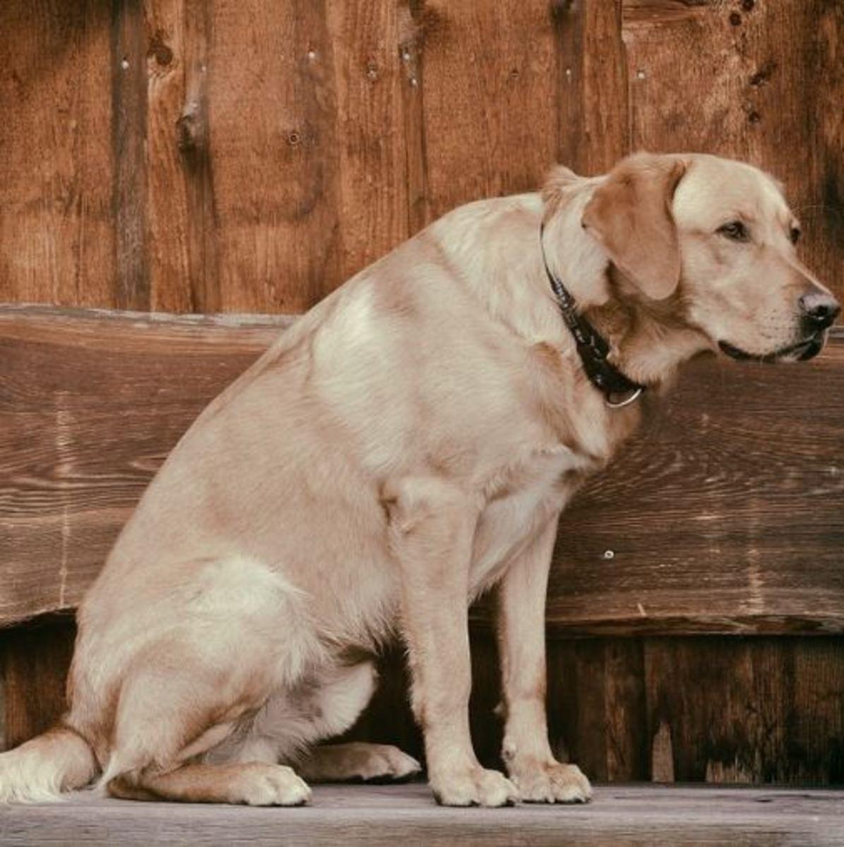 trembling legs in older dogs