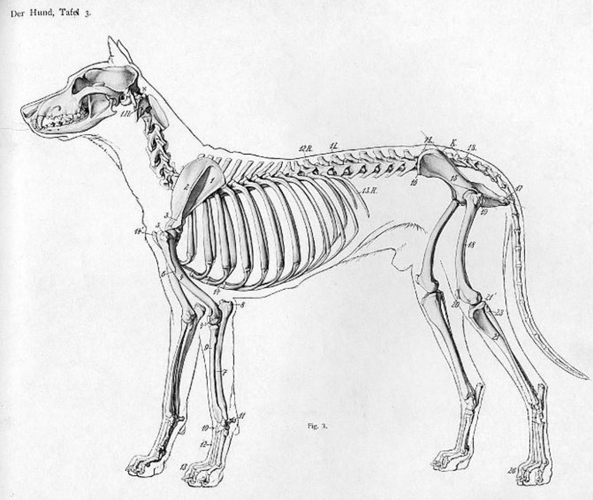 Animal anatomical engraving from Handbuch der Anatomie der Tiere für Künstler' - Hermann Dittrich, illustrator, public domain