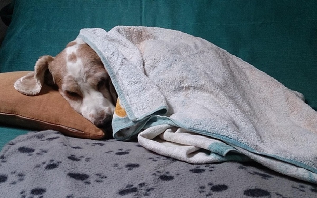 My Dog Feels Cold After Surgery, is it Normal?