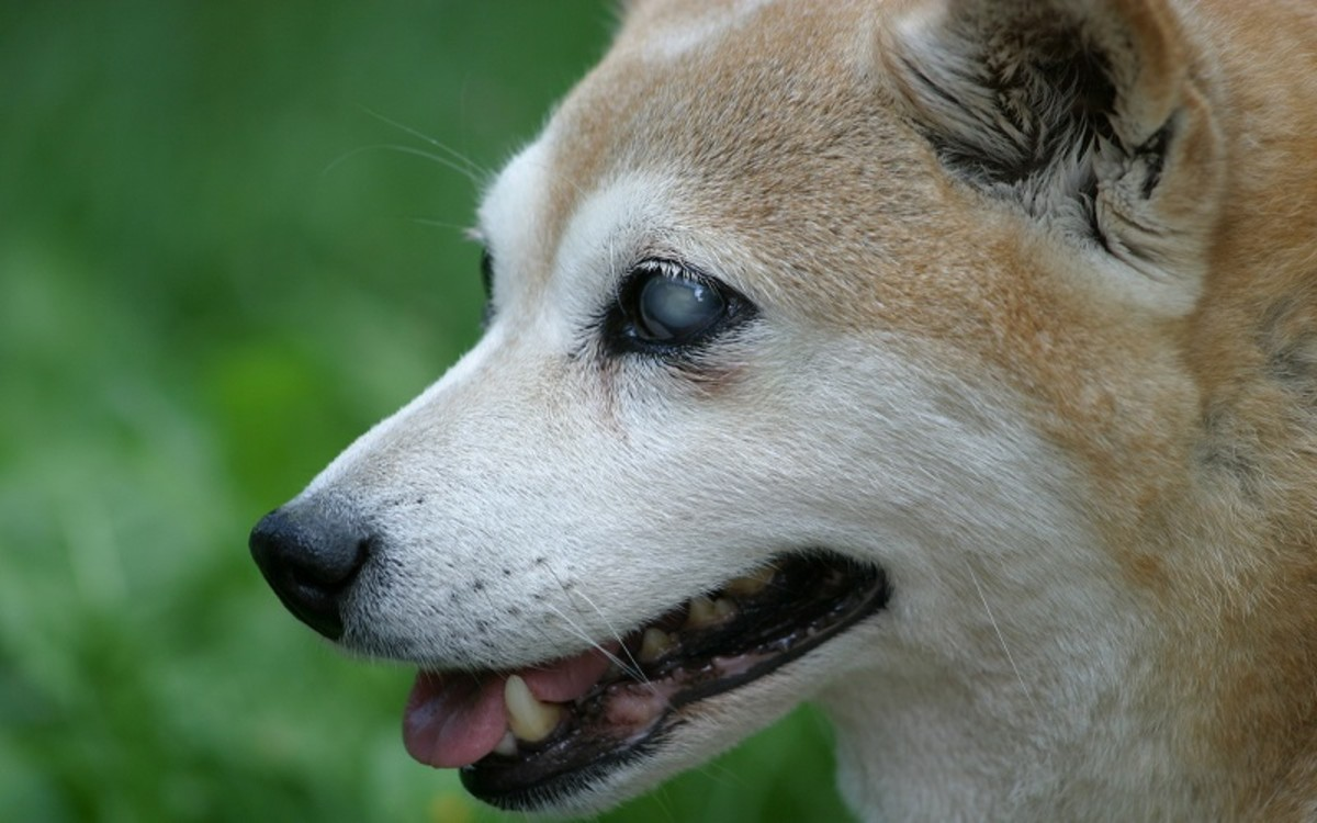 Sudden Acquired Retinal Degeneration Syndrome in Dogs