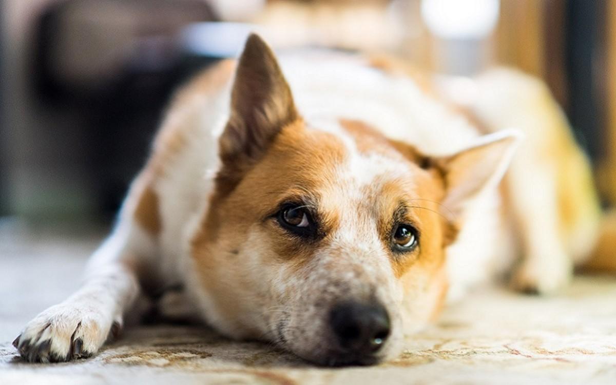 Dog with Rib Bone Cancer