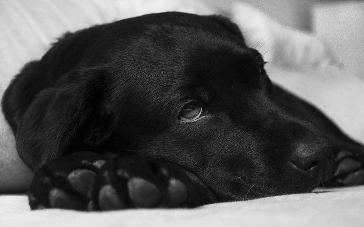 Dog Neutering Complications