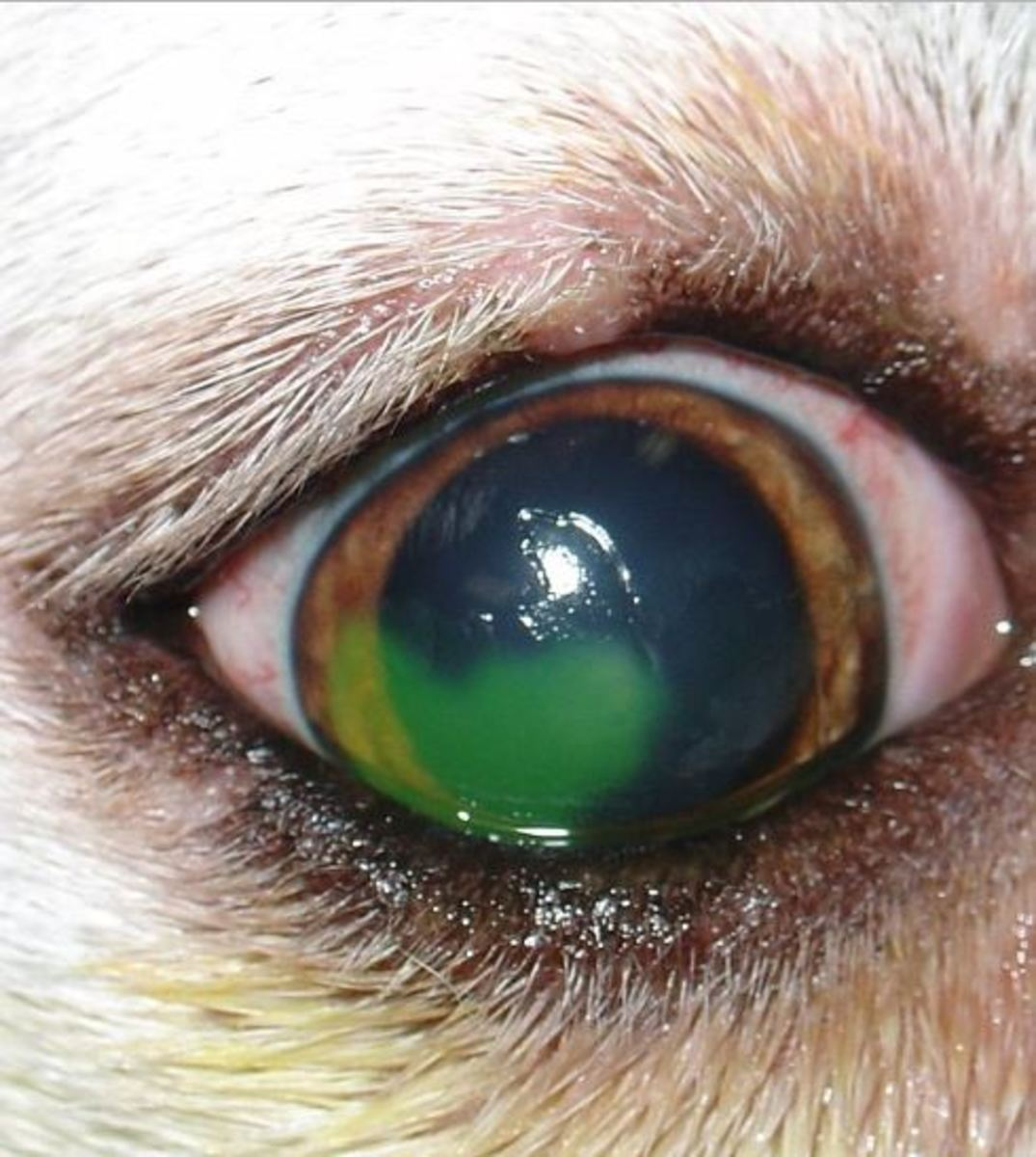 A dog's eye stained with fluorescein. In this case, there is an ulcer. Source: Joel Mills,Wikipedia,