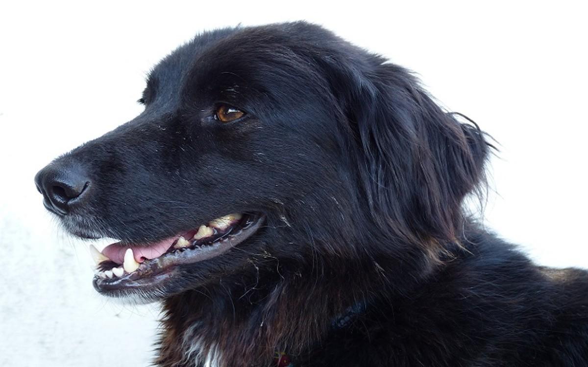 Dog's Enlarged Prescapular Lymph Node