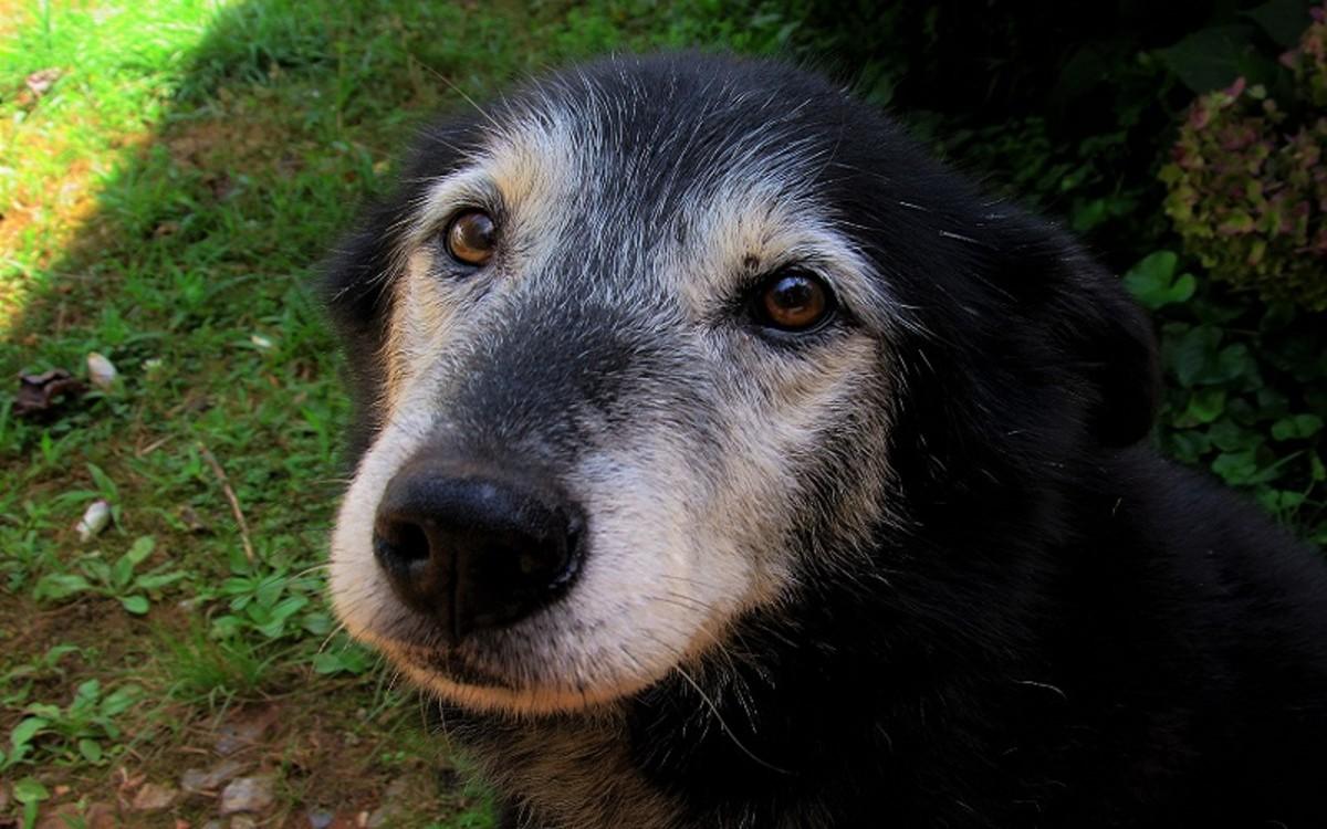 Hepatic Nodular Hyperplasia in Old Dogs
