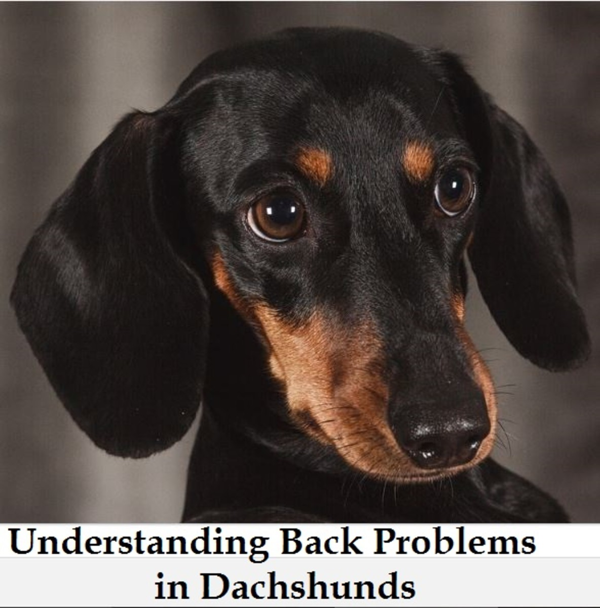 back problems in doxies