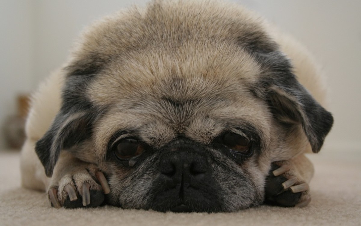Dog's Stomach Turned Dark