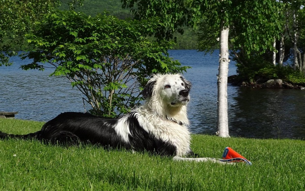 Lepto Vaccine for Dogs