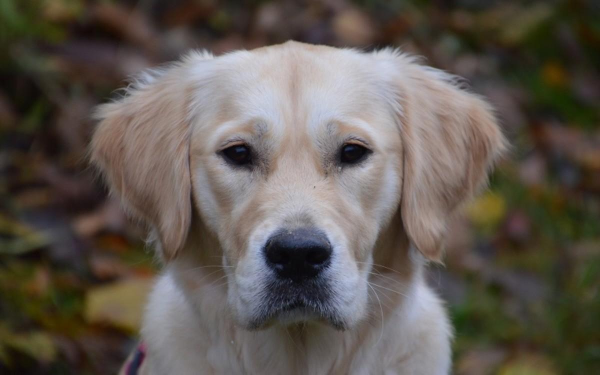 Hemophagocytic Histiocytic Sarcoma in Dogs