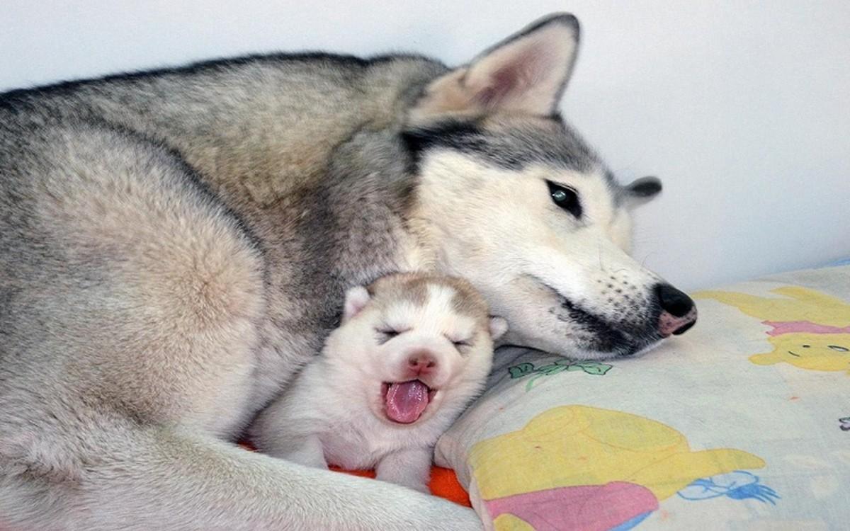 Dog Mammary Cancer