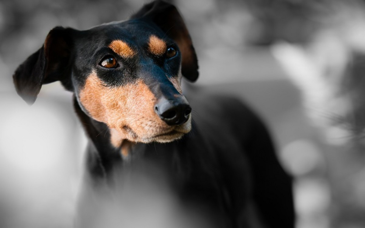 Hallucinations in Dogs