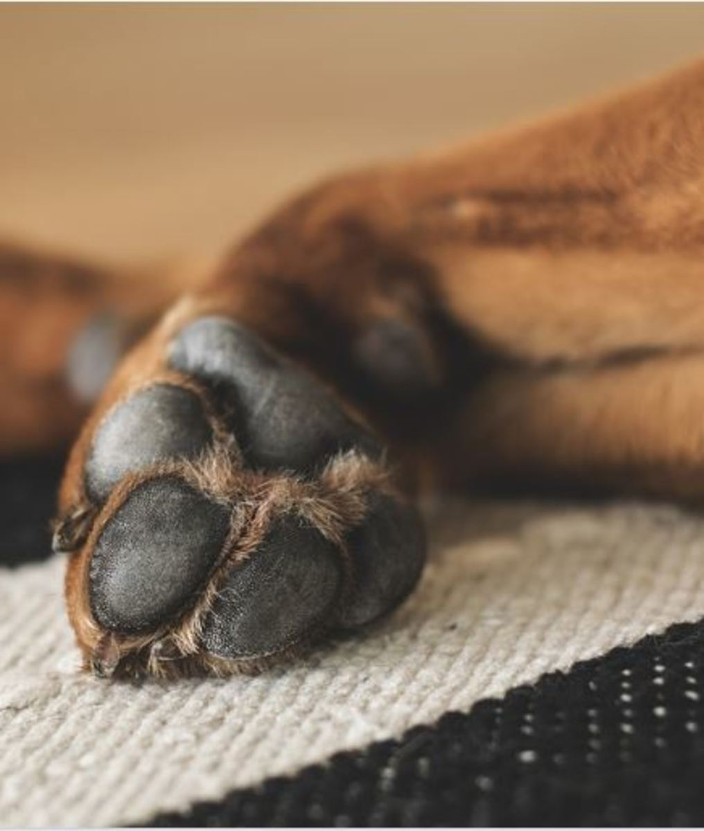 Home Remedies for Steys on a Dog's Eyelids
