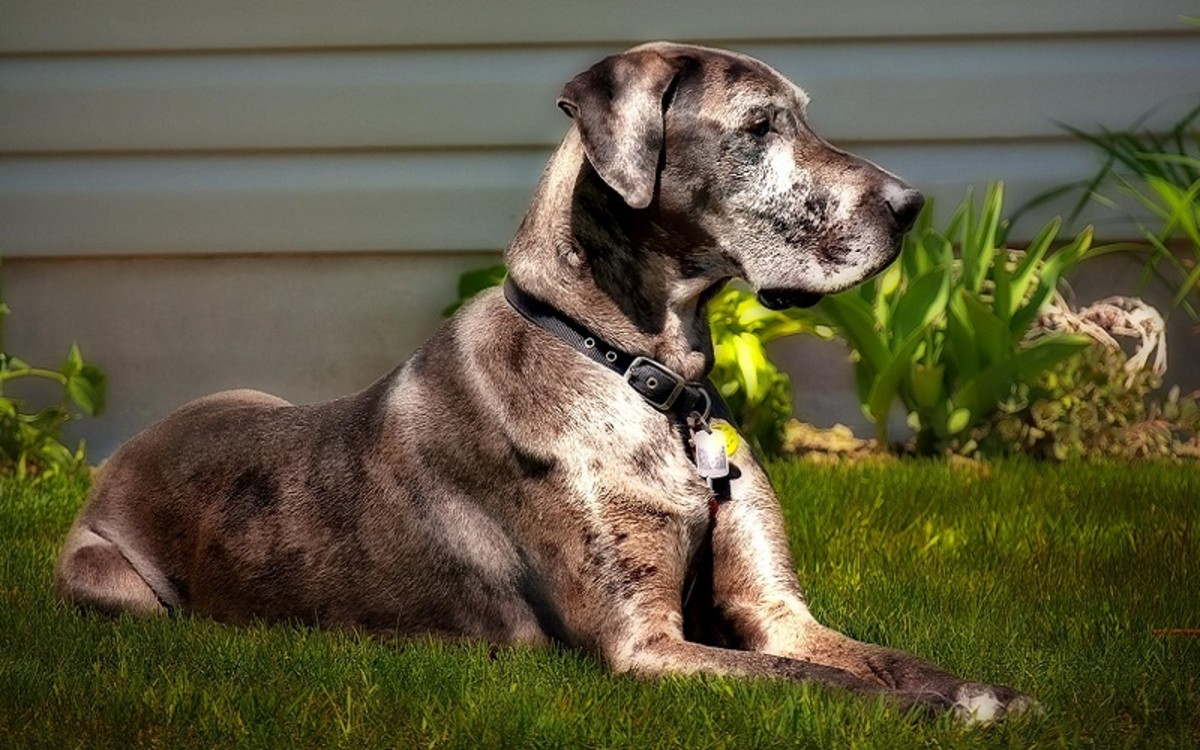 How Long Can a Dog Live With a Heart Murmur?
