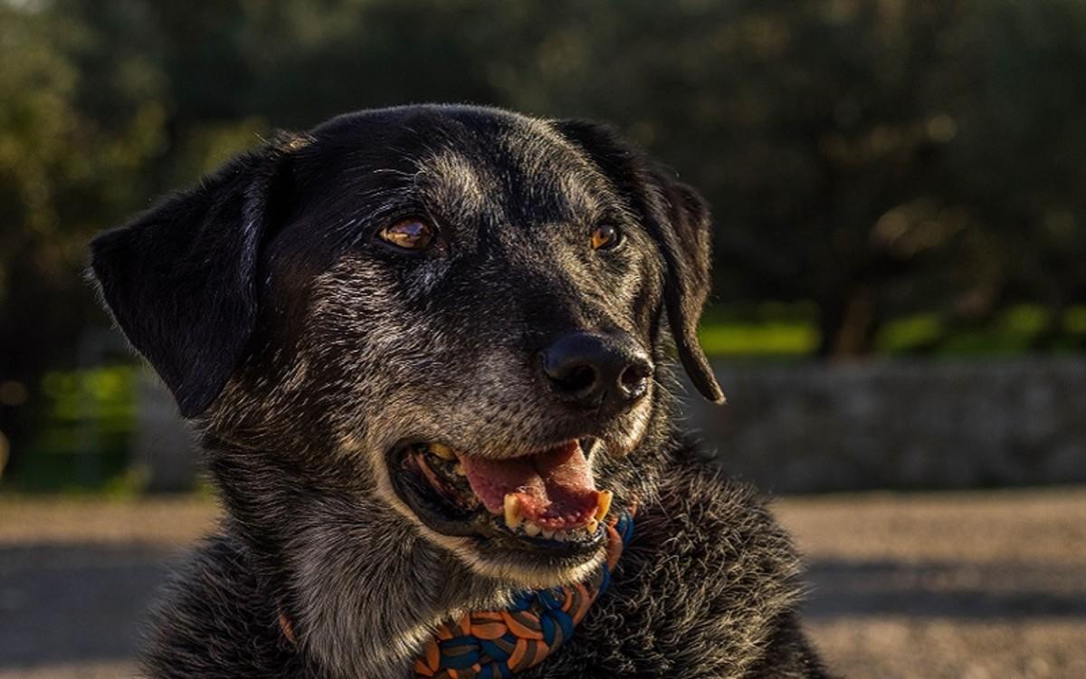 Dogs Benign Liver Tumor