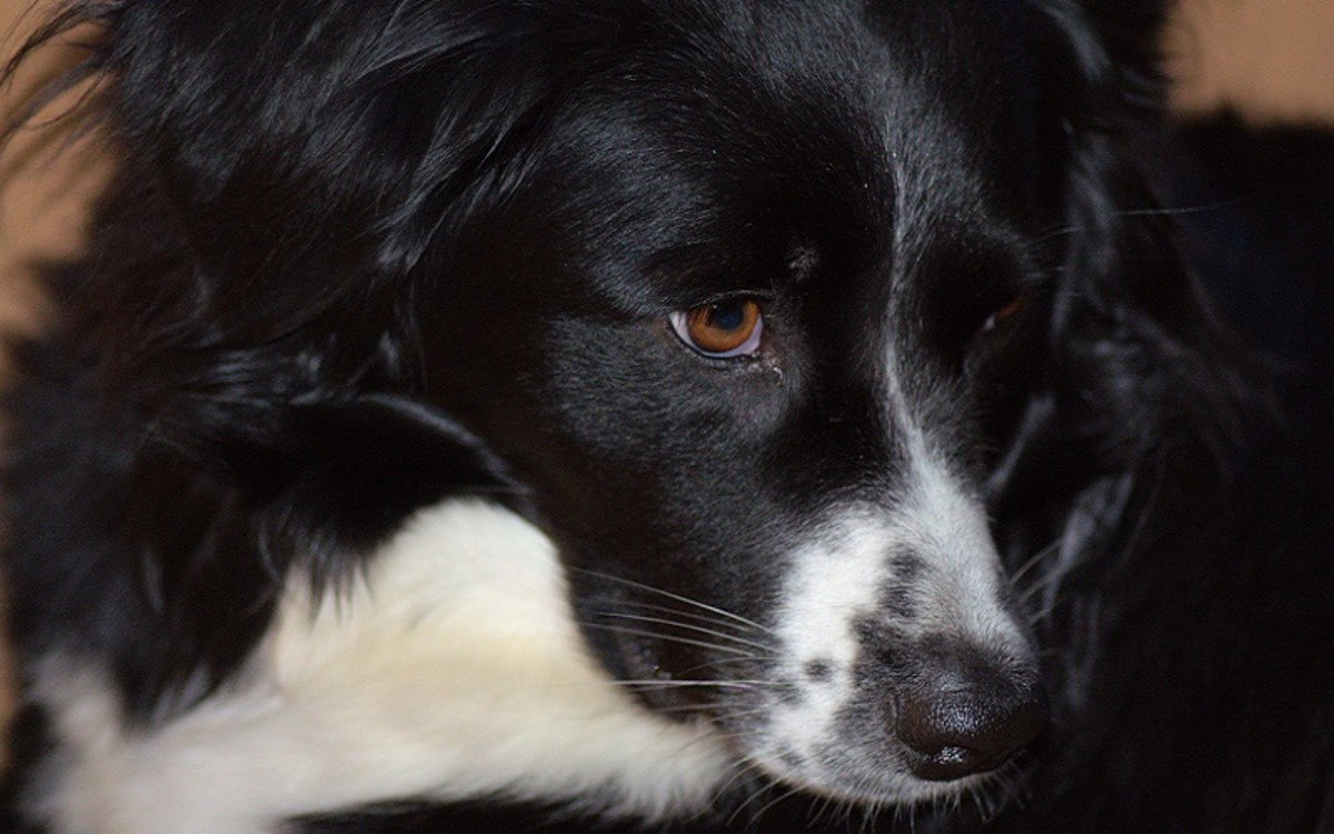 Why is My Dog Whining in Pain After Eating?