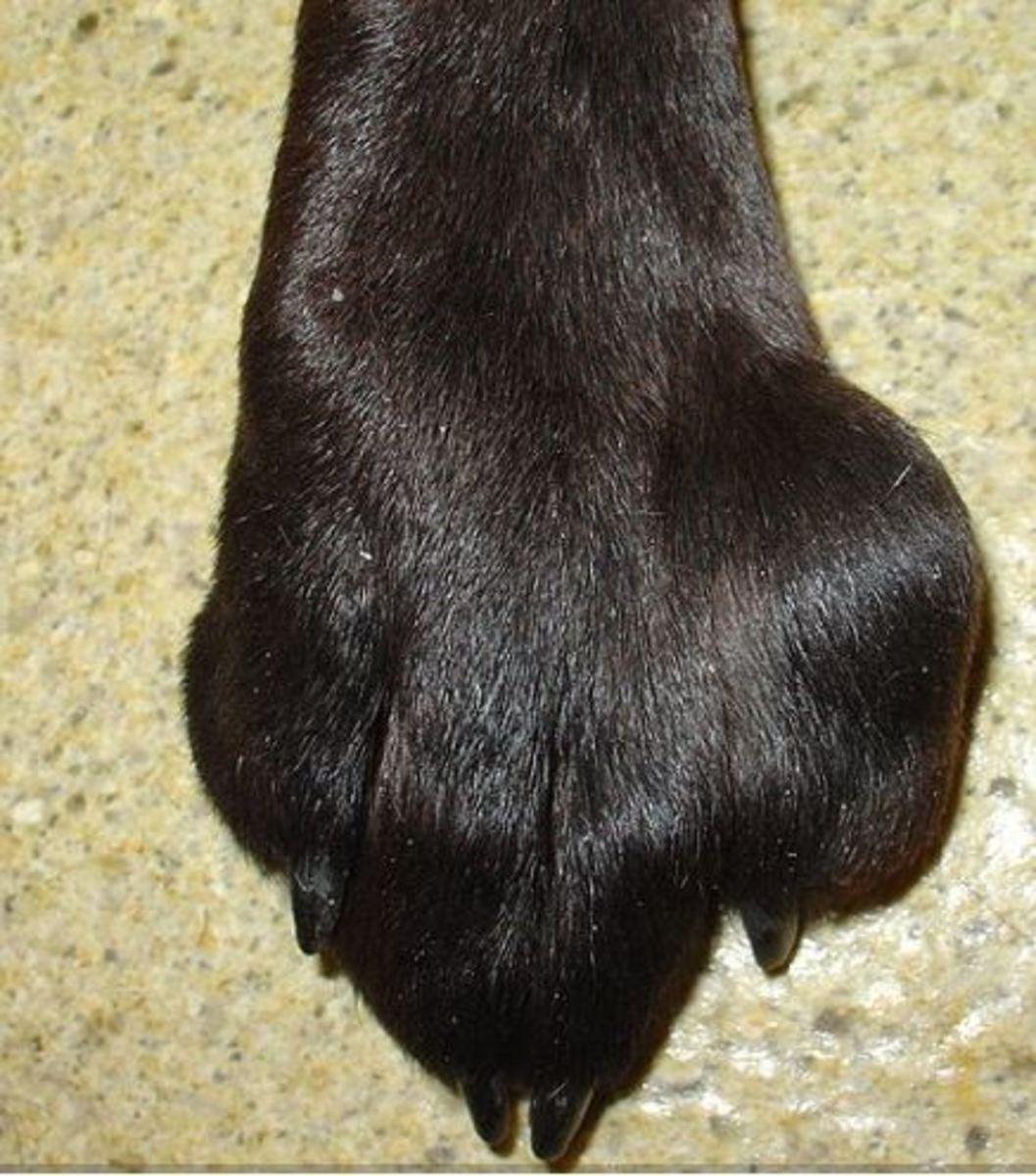 Mast cell tumor on dog's toe
