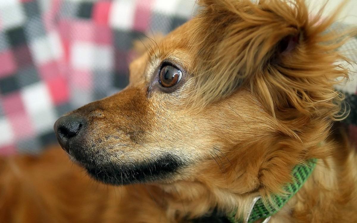 Dog Urinary Incontinence