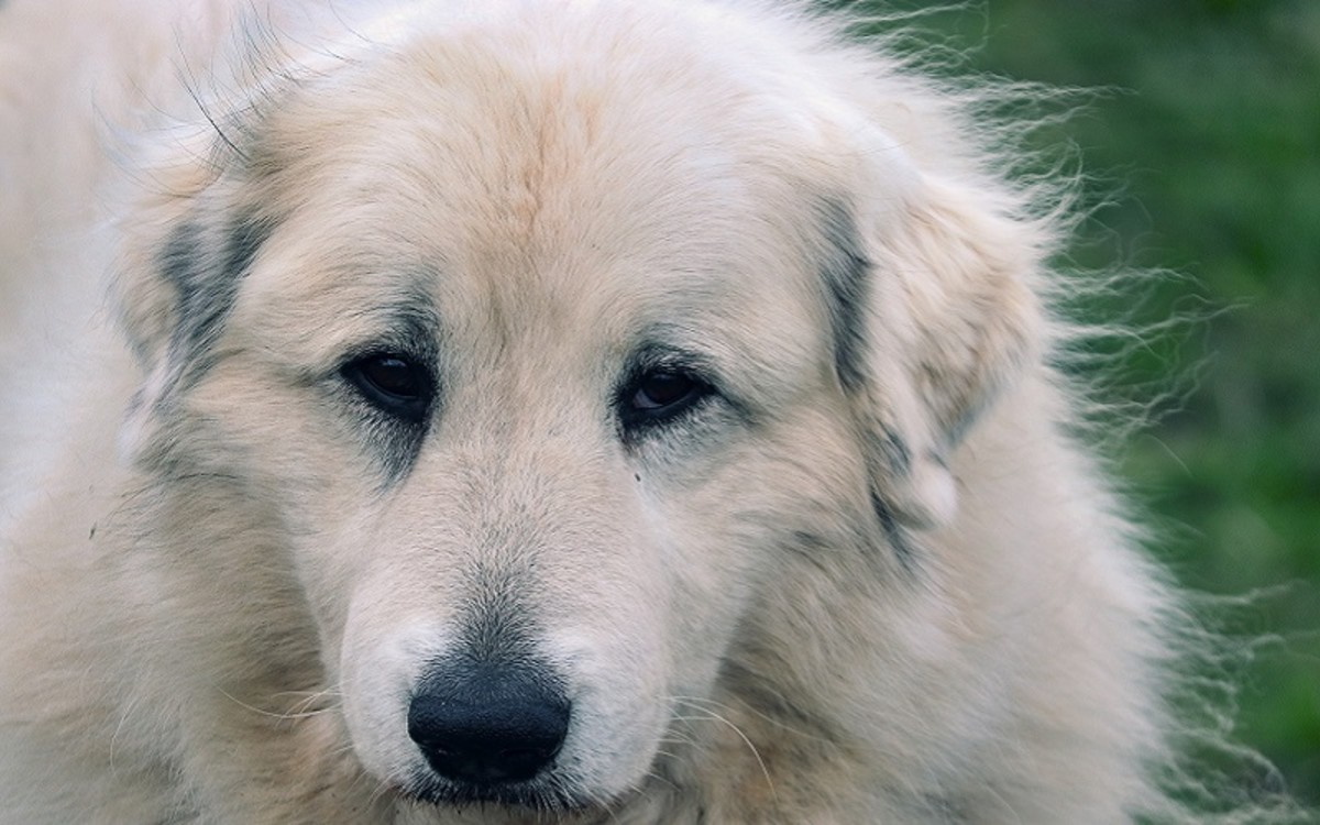Esophageal Strictures in Dogs